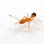 муравей домашний